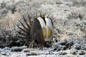 20110520104035sagegrouse-300x200.jpg