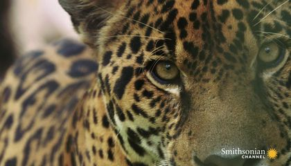 Preview thumbnail for video'This Footage of Jaguars in Panama Could Save Their Lives