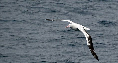 The winged albatross