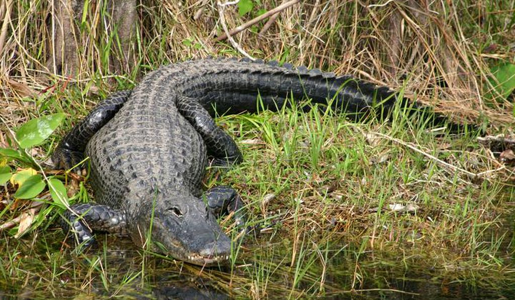 As alligators inch closer to humans, who pays most?