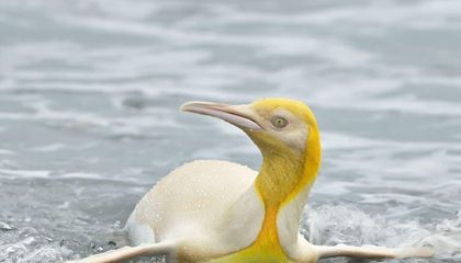 Rare Yellow Penguin Photographed for the First Time