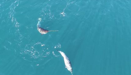 New Drone Footage Shows One Way Narwhals Use Their Tusks