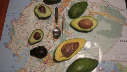 What Makes These Avocados Different From All Others?