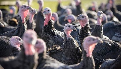 Turkey Farmers Scramble to Meet Need for Smaller Thanksgiving Birds