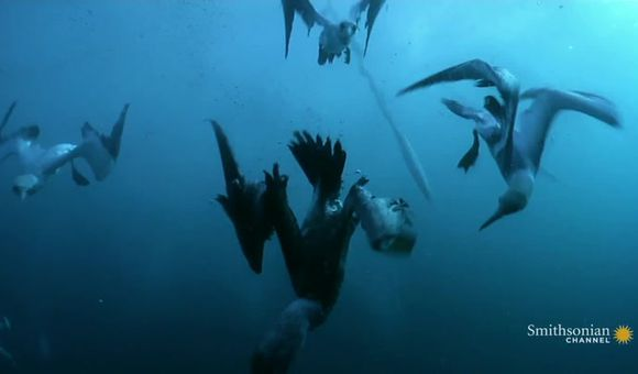 Preview thumbnail for video'Gannets Plunge Into the Sea