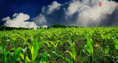 Most corn grown in the U.S. is genetically modified.