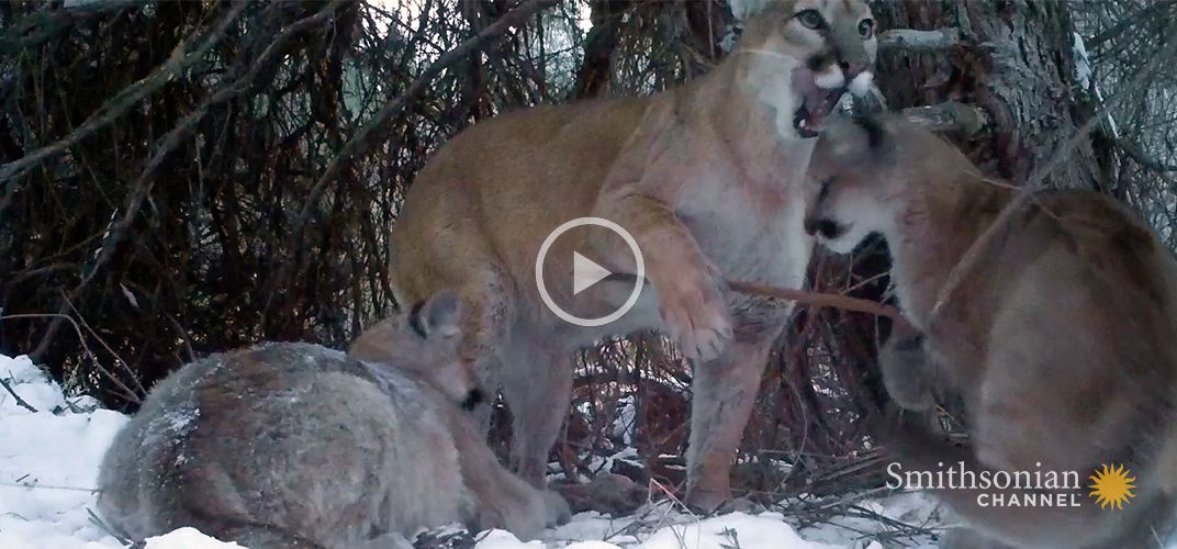 Caption: Cameras Catch Glimpse of Mountain Lion Family