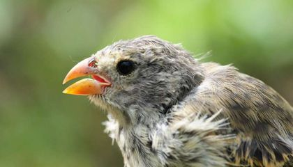 Parasites Are Ruining the Love Songs of Darwin's Finches