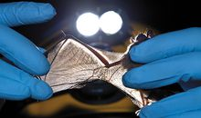 Researcher checking bat wings