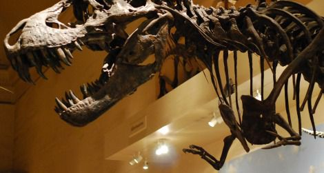 A reconstruction of Tyrannosaurus rex on display at the National Museum of Natural History.