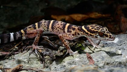 Reptile Traffickers Often Target Newly Described Species