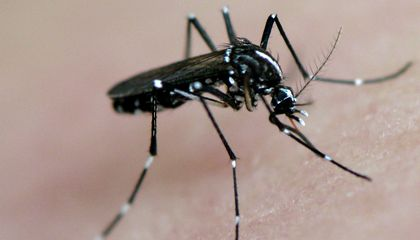 Could GM Mosquitoes Pave the Way for a Tropical Virus to Spread?