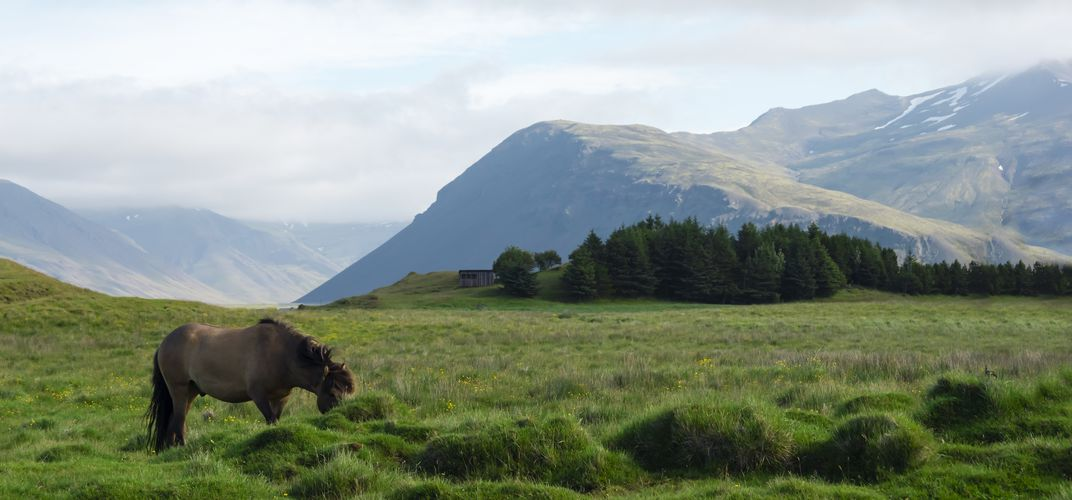 Landscape with Icelandic pony