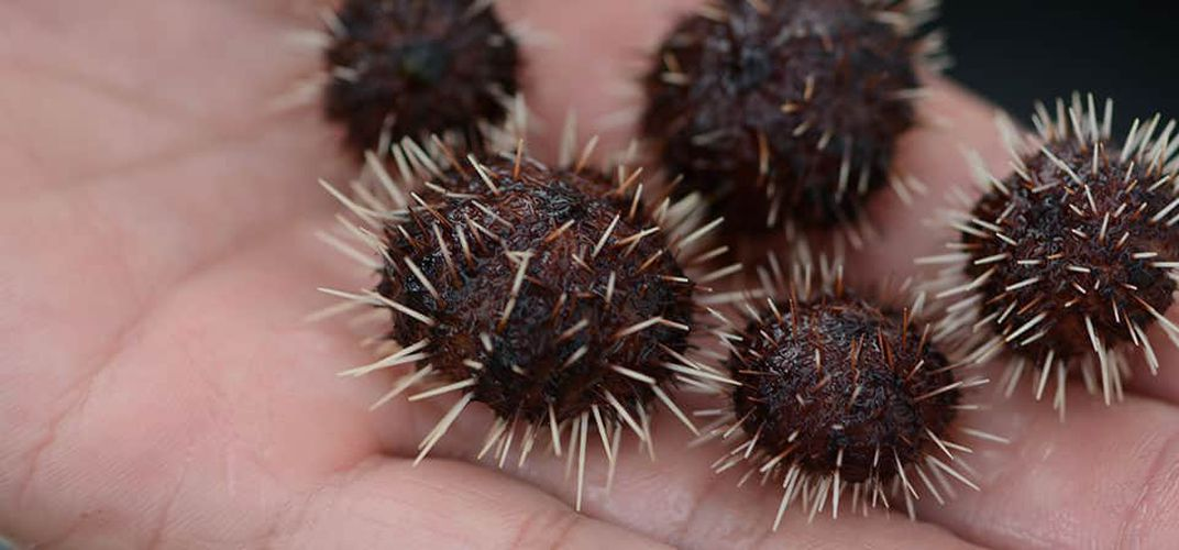 Caption: Hungry Baby Urchins Are Saving Hawaii's Reefs