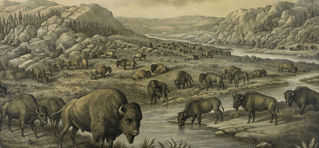 Caption: The Bison Returns to the Great American Plains