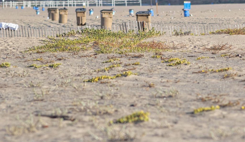 One beach, two ecosystems: on one side of the fence, native plants flourish, creating homes for birds and bugs; on the other, rows of garbage cans and volleyball courts await the throngs of beachgoers.