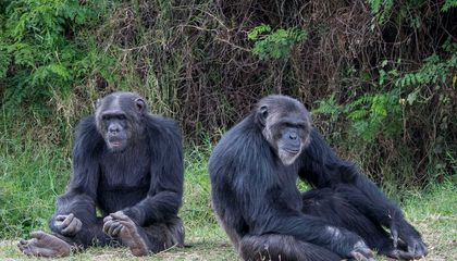 Chimpanzees Relaxing