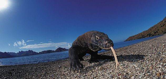 The-Dragon-King-Komodo-Dragon-631.jpg