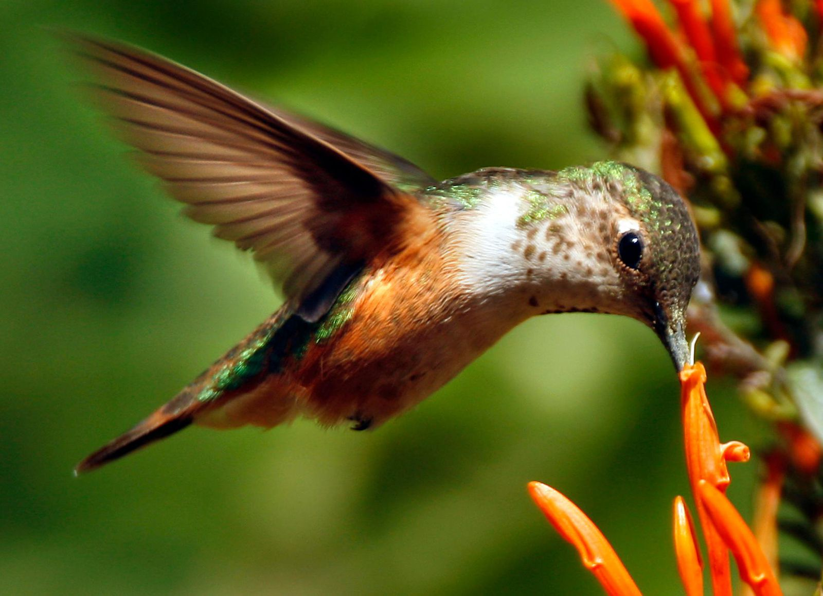 Hummingbirds Learn to Count to Find Their Favorite Flowers