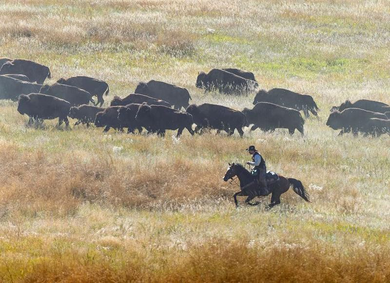 South Dakota Buffalo Roundup