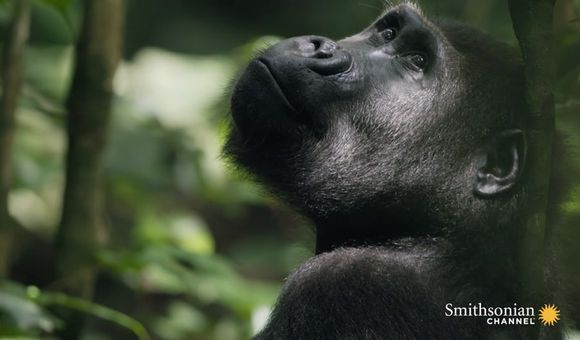 Preview thumbnail for video'How Ecotourism Can Save Both Gabon's Forests and Its Gorillas