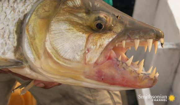 Preview thumbnail for video'Would You Get This Close to a Goliah Tigerfish?