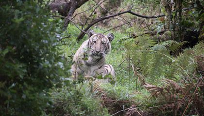 Stunning Images Capture Rare Pale Tiger in India