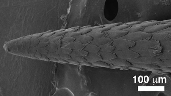 A microscopic image of a porcupine quill's barbs