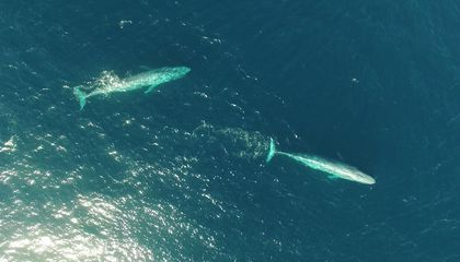 Hundreds of Blue Whales Are Permanent Residents Off New Zealand's Coasts
