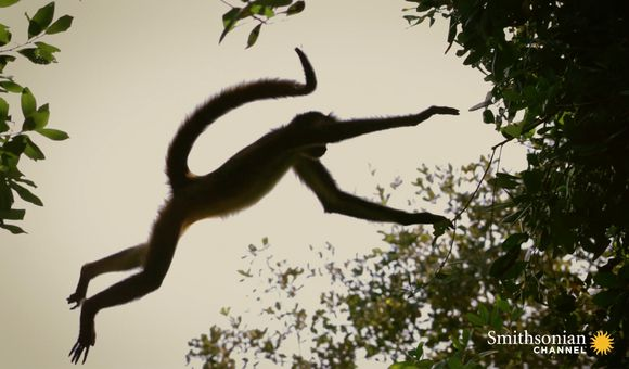 Preview thumbnail for video'Why Spider Monkeys Only Have Four Fingers