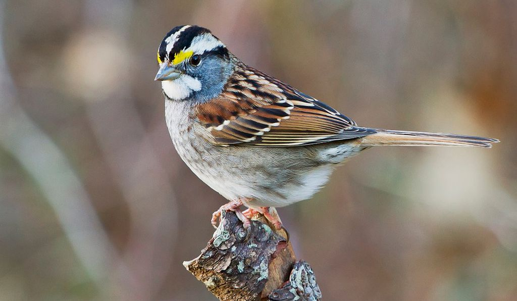 White-throated sparrows effectively have four different sexes. Yep.