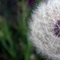 A dandelion up close and personal