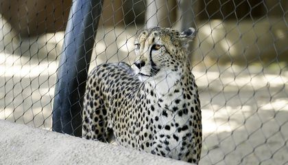 How to Help Cheetahs Live Longer in Captivity