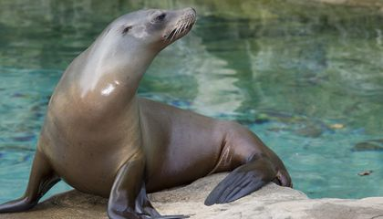 A sea lion at the Smithsonian's National Zoo and Conservation Biology Institute.