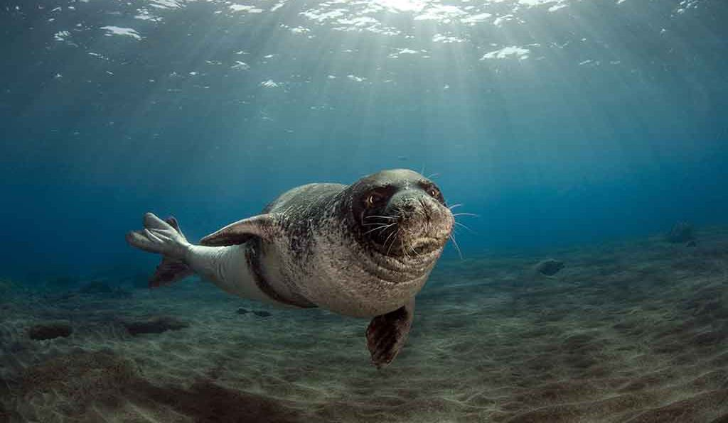 A male Mediterranean monk seal (<em>Monachus monachus</em>) swims off the coast of the Desertas Islands, Portugal, in July 2009. Roughly 600 Mediterranean monk seals still live in the wild.