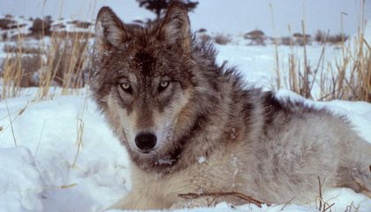 """""""Running with Wolves"""" premieres on Smithsonian Channel"""