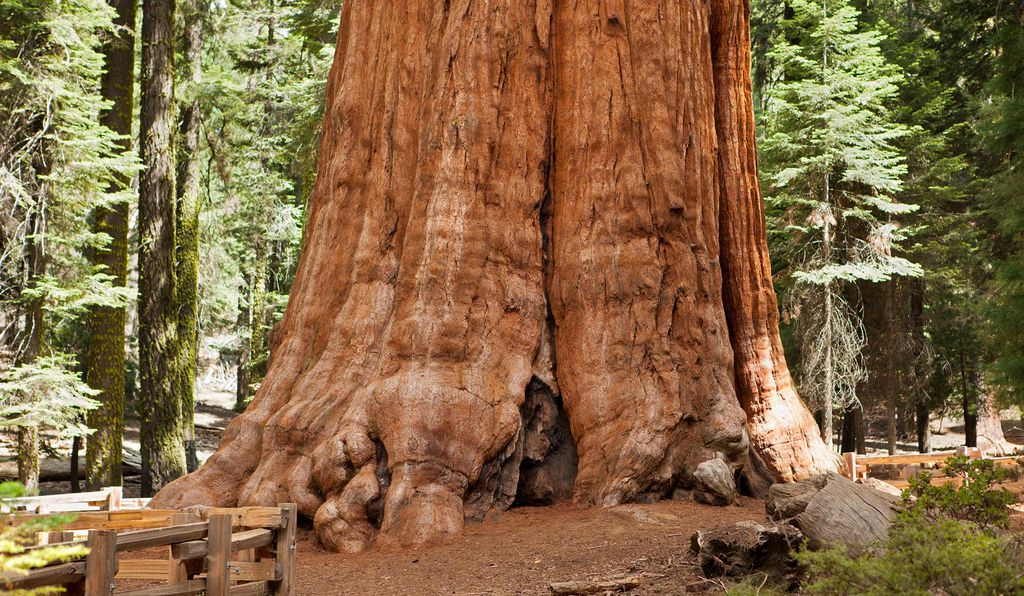 General Sherman, Sequoia Tree
