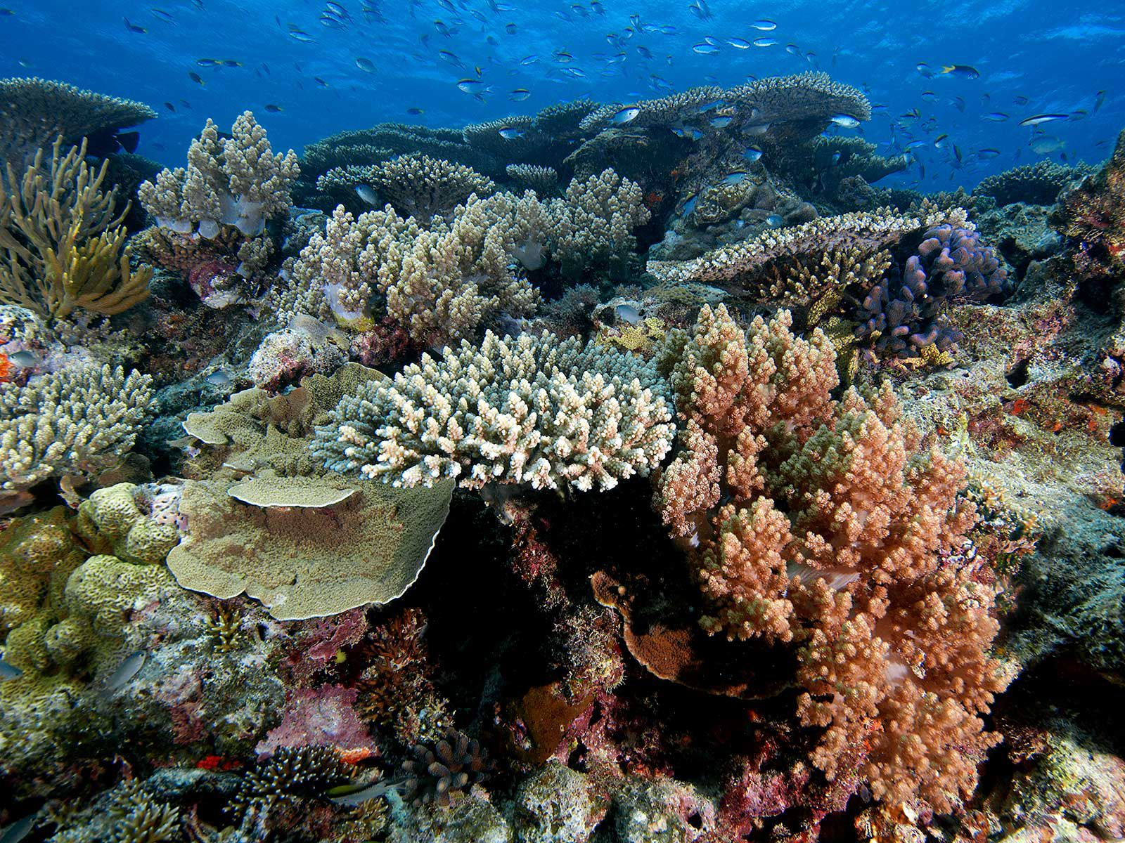 Could Floating Cold Water Over the Great Barrier Reef Save Corals?     Science