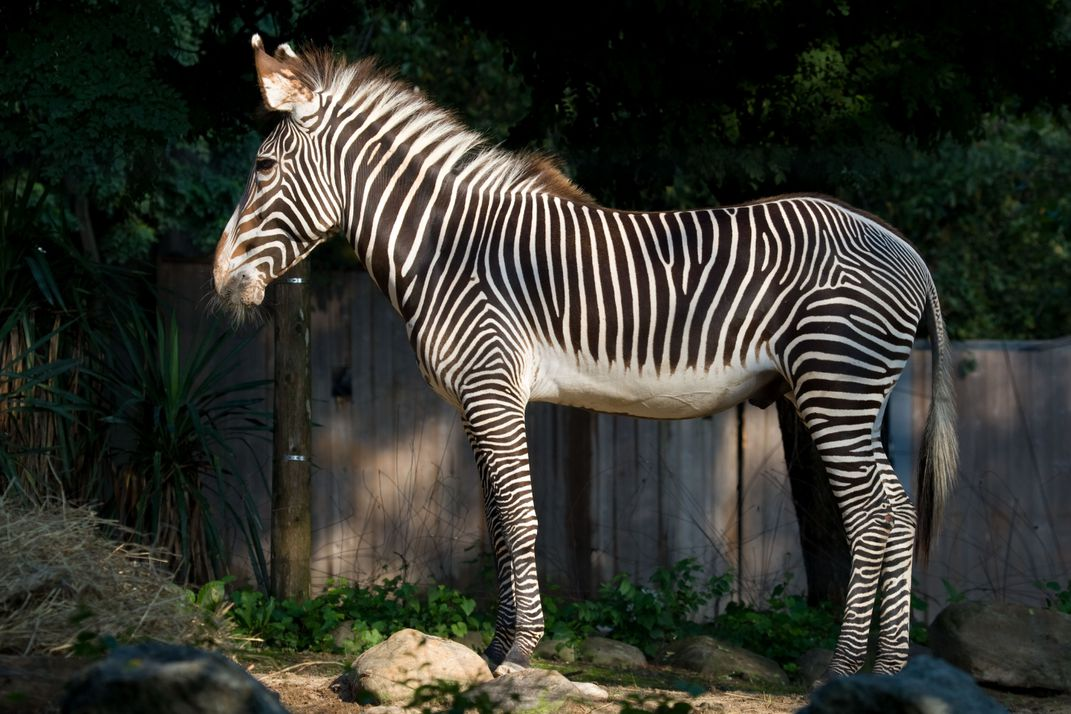A Grevy's zebra with dark brown and white stripes down to its hooves, large ears and a mohawk-like mane stands and eats hay