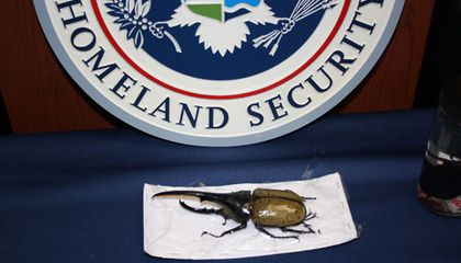 Illegal Giant Beetles Come to the Smithsonian