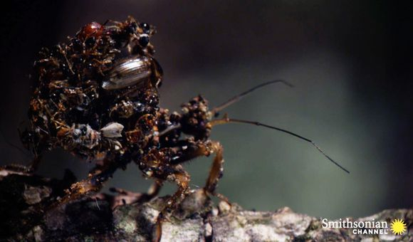 Preview thumbnail for video'This Bug Wears Its Victims' Carcasses as Camouflage