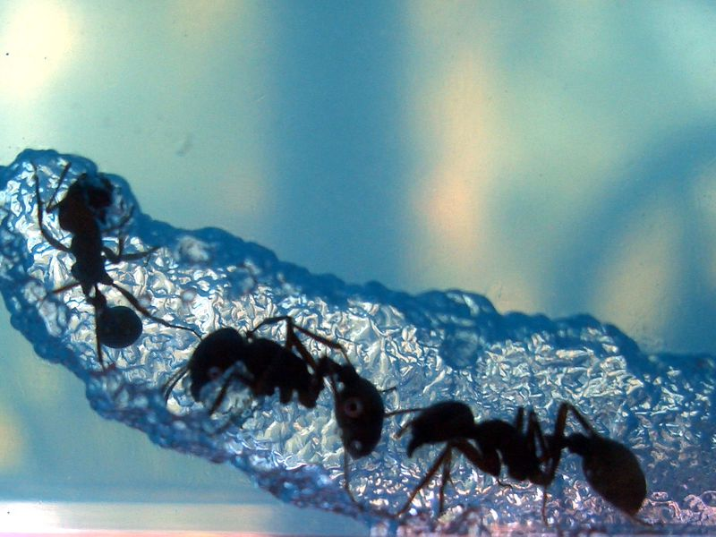 Ants tunneling through a formicarium