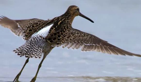 Preview thumbnail for video'The Shorebirds of Delaware Bay
