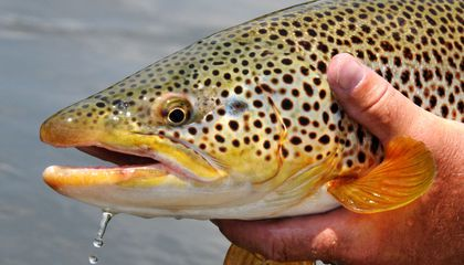 Meth Pollution in Waterways Turns Trout Into Addicts