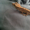 Eyelash crested gecko