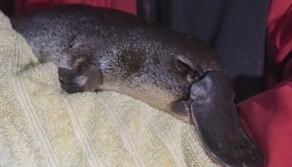 Platypuses Lost 22% of Their Habitat Over Last 30 Years