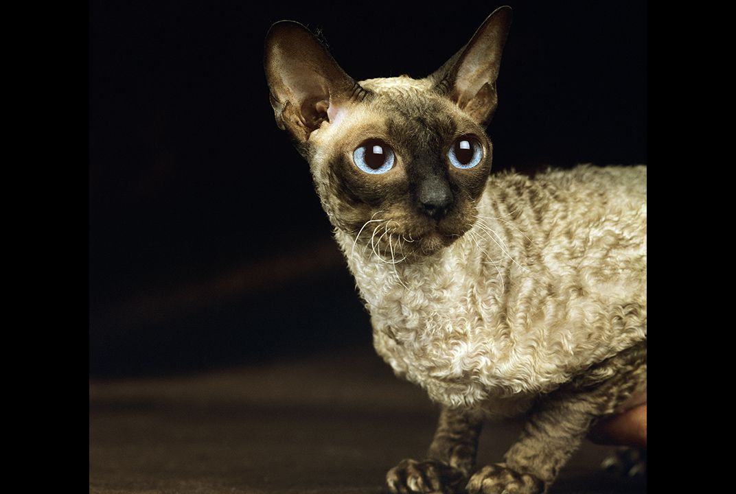 There's No Such Thing as a Hypoallergenic Cat | Science | Smithsonian