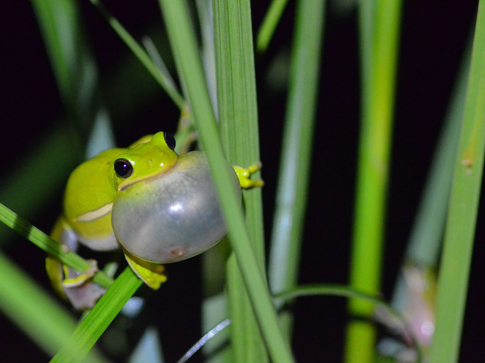 This Frog's Lungs Work Like Noise-Cancelling Headphones