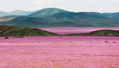 The World's Driest Desert Is in Breathtaking Bloom