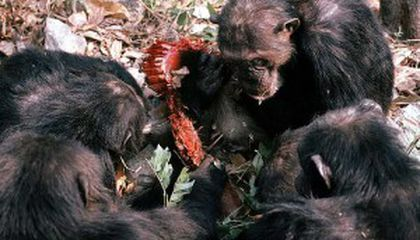 50 Years of Chimpanzee Discoveries at Gombe